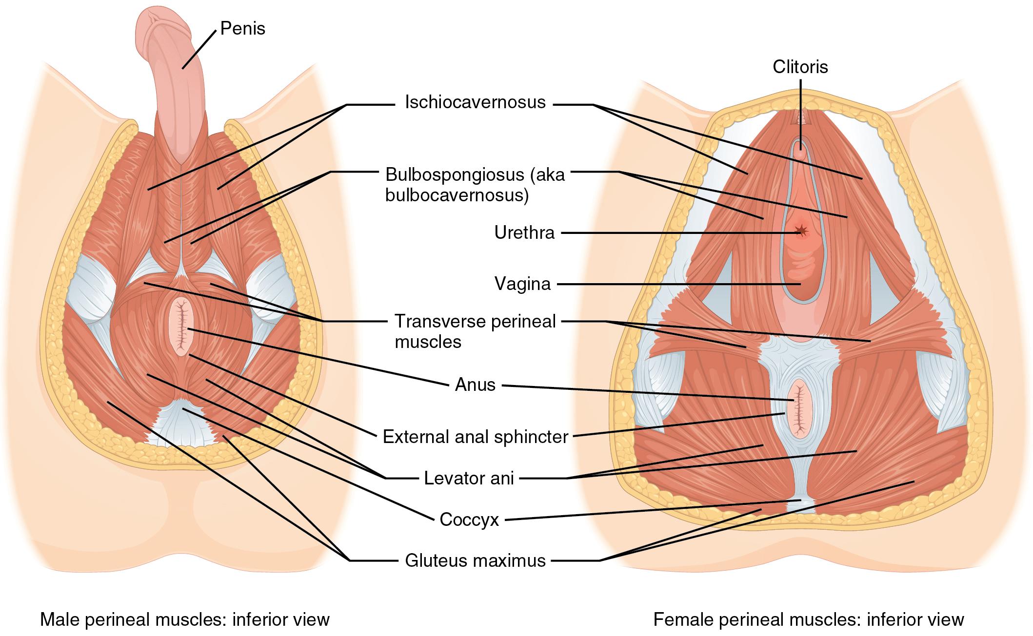 Urethra Vrouw